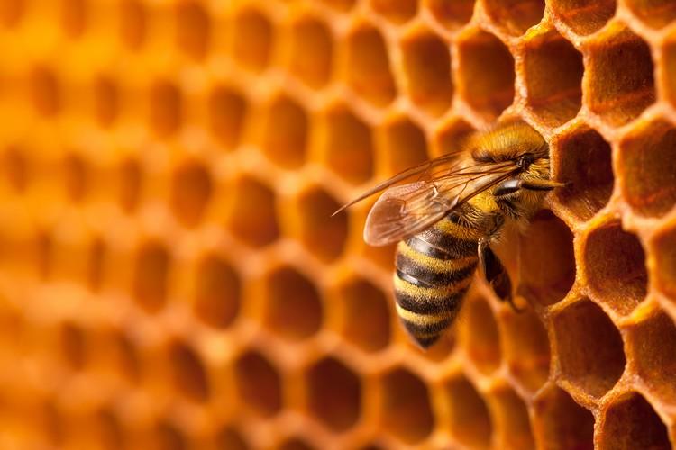 Abeille butine pour miel